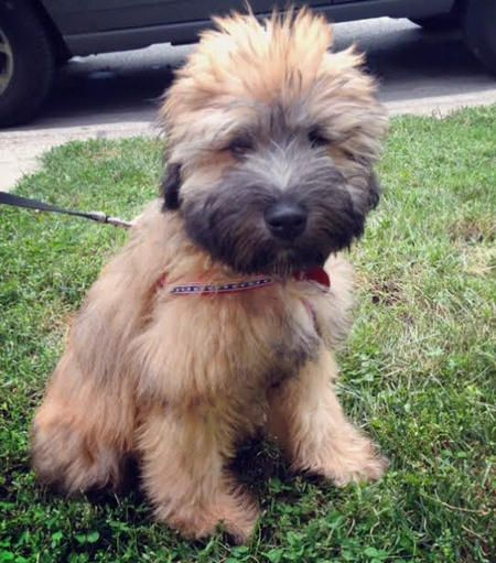 Murray the Soft Coated Wheaten Terrier