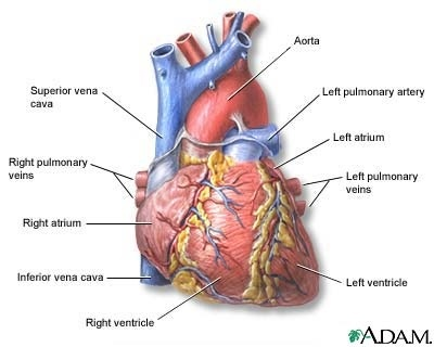 63 best endocrine cardio blood images on pinterest health heart diagram ccuart Choice Image