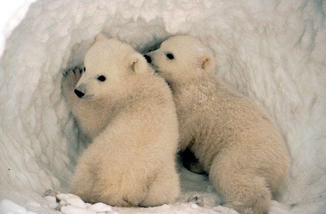 polar beat cubs emerging from their den, photo by USFWSAlaska