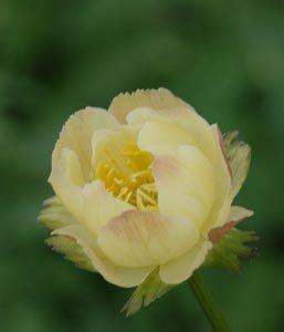 Trollius x cultorum 'Alabaster' - Helle Trollblume, 50 cm h, blüht 6 bis 7, wieder in 9 nach Rückschnitt