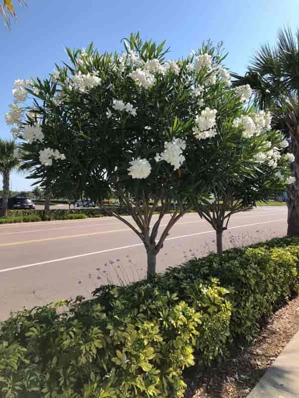 Oleander Plant Care Tips For Growing Oleander Bushes And Trees Oleander Plants White Flowering Trees Plants