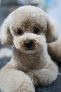 What's In, What's Out: Puppy Grooming Trends for 2013                                                                                                                                                                                 Mais