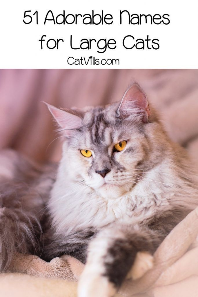 51 Best Names For Large Cats Cats Ocicat Large Cat Breeds