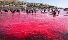 Protesters film slaughter of hundreds of whales in the Faroe Islands | Environment | The Guardian