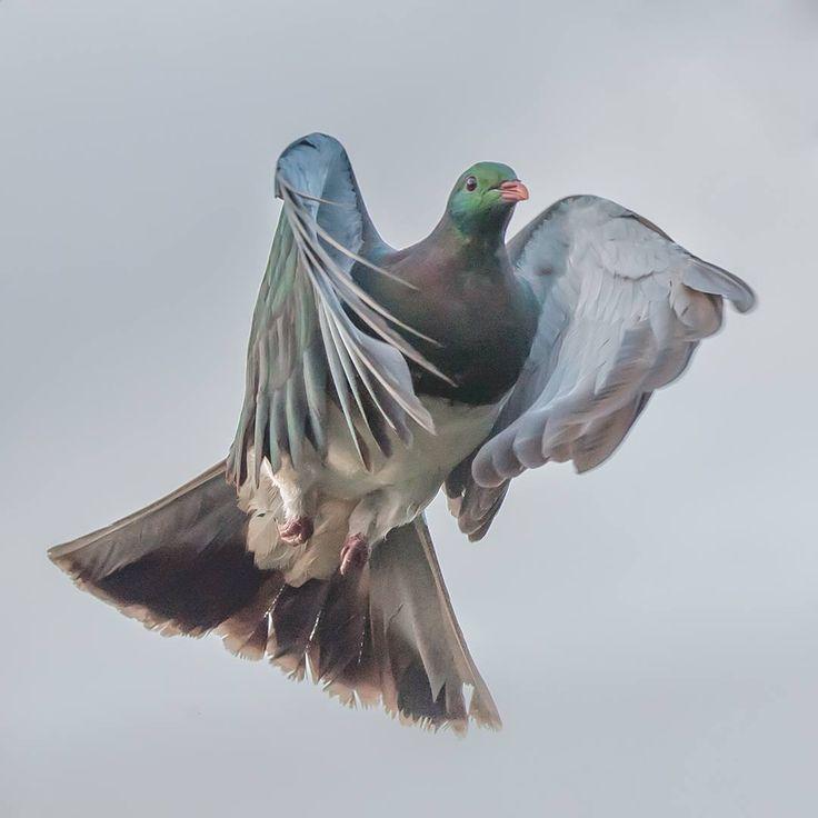 kereru . NZ pigeon