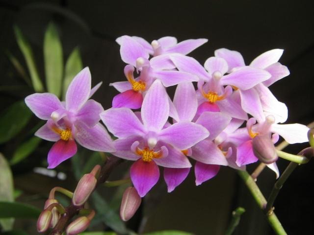 Google Image Result for http://2.bp.blogspot.com/_21_UkiqioPk/TLMOCq5jV0I/AAAAAAAAAVY/Rjmd1izL6z8/s1600/phal%2Bequestris.jpg: Google Image, Pinecrest Garden, Garden Guy