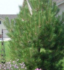 Austrian pine makes a fine choice for privacy