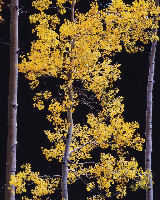 Christopher Burkett | Graceful Aspen, Colorado (2005) | Available for Sale | Artsy