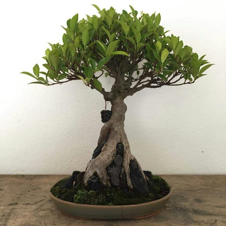 267 best bonsai images on pinterest bonsai trees bonsai for Most expensive bonsai tree ever