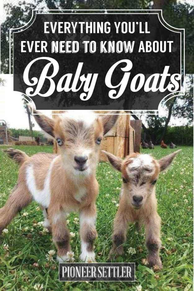 Check out How to Raise a Baby Goat to Grow Up Big & Strong at http://pioneersettler.com/how-to-raise-a-baby-goat/