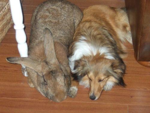 巨大ウサギが飼い主を募集中、犬並みに成長で「飼いきれない」と施設へ : 【2ch】コピペ情報局