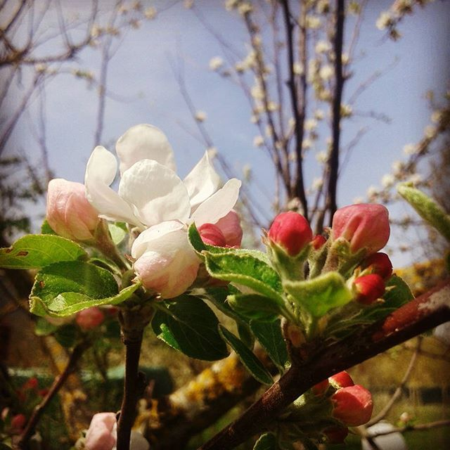 Under an apple tree bursting with flowers listening to the bees #thisispeace…