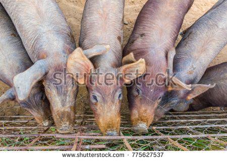 Iberian piglets close to fence Badajoz province, Extremadura, Spain