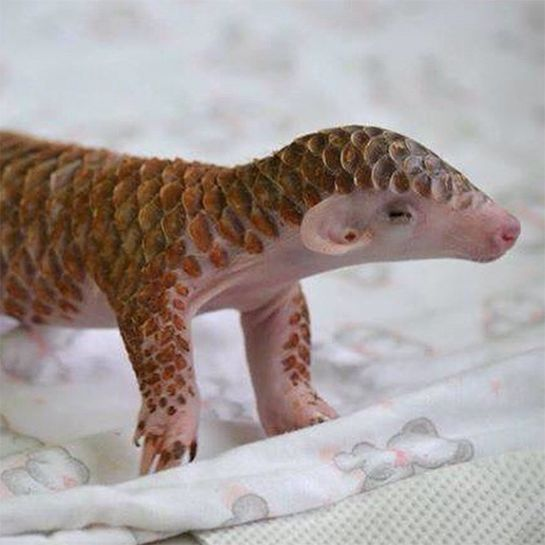 These Baby Zoo Animals Will Make Your Heart Explode With Joy #refinery29  http://www.refinery29.com/2015/03/84658/zooborns-instagram-cutest-thing-ever#slide-2  Don't worry, this endangered Pangolin doesn't have any teeth! When he grows up, he'll look like a cross between an aardvark and an artichoke. He's receiving special care at the Taipei Zoo in this snap.