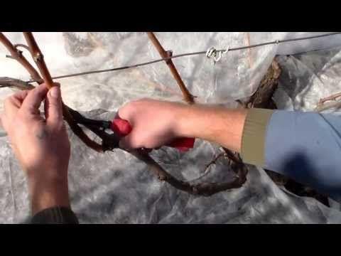(24) Виноград  Обрезка куста - YouTube