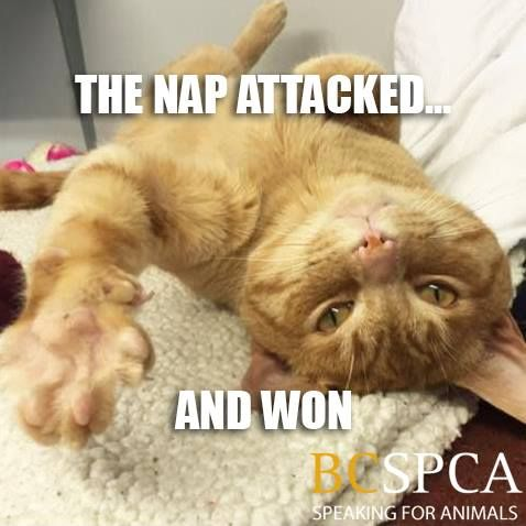 The weekend is not far away! But naps are always a good idea. Ask Mr. G, waiting for his forever home at the BC SPCA Vancouver Branch.