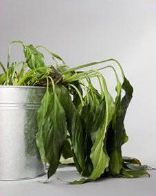 How to Revive a Dead Plant- I do not exactly have a green thumb. Maybe this will help