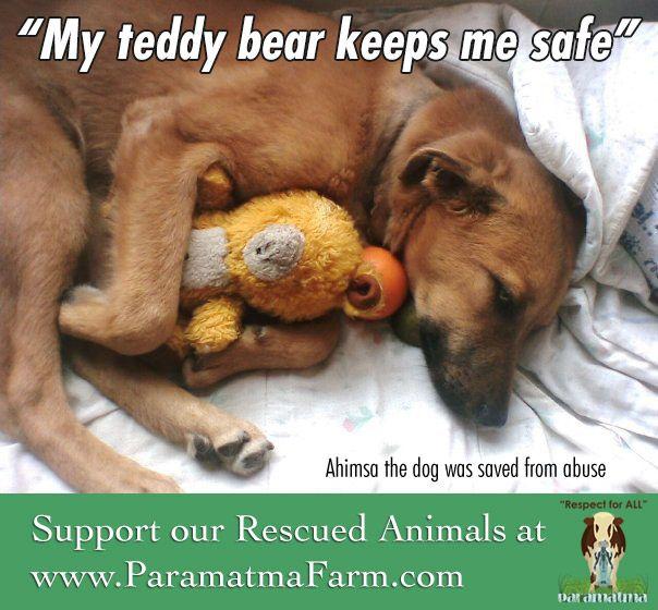 Our sweet and gentle dog, Ahimsa, loves his teddy bear. www.julianasfarm.org