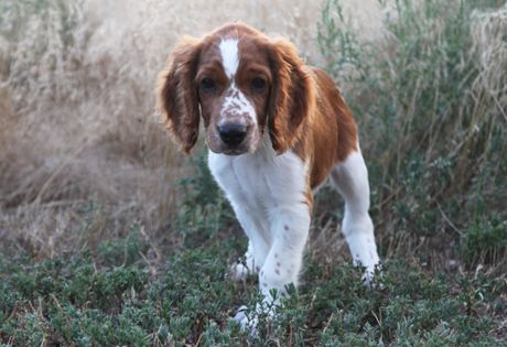 A compact dog built for hard work, the Welsh Springer Spaniel is a distinct breed, not a variety of the English Springer Spaniel. With his excellent nose and slightly webbed feet, the breed is a versatile hunter, water dog and retriever. Their trademark coat is a striking red and white in color.