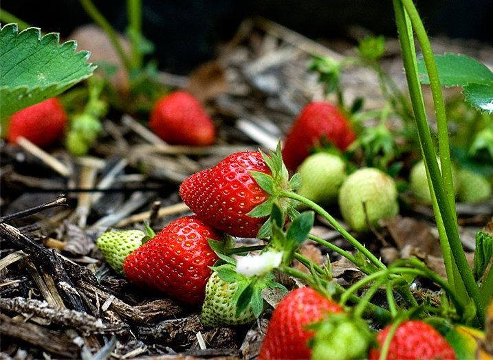Good advice on growing strawberries in a raised bed gardening pinterest spring projects - Plant strawberries spring ...
