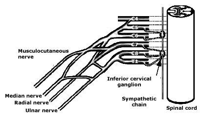 brachial plexus and sympathetic chain - Google Search