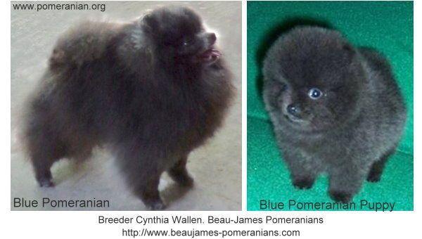 Blue Pomeranian Blue Pomeranian Puppy #pomeranianpuppy