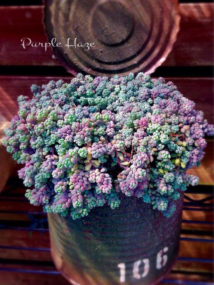 パープルヘイズの画像 by ikuraさん|リメ缶と多肉植物 (2016月3月17日)|みどりでつながるGreenSnap