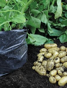 When to grow potatoes  Potatoes are normally planted in March for harvesting throughout summer and autumn. They can also be planted in August/September for Christmas new potatoes (these are also known as Second Cropping Potatoes). Use the table below as a general guide on when to plant potatoes.
