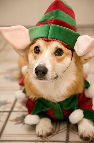 elf corgi christmas pembroke welsh corgis puppy #Holiday #Dogs