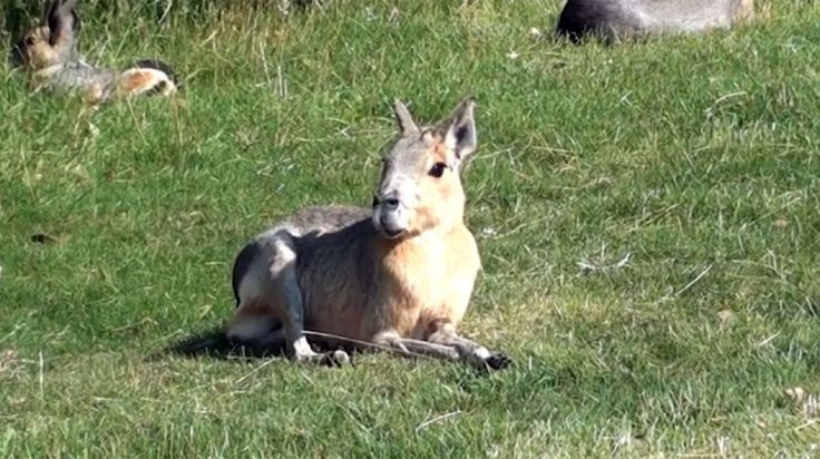 Patagonian Mara, This creature looks like a bunnyy with hooves.  Animals you didn't know exist