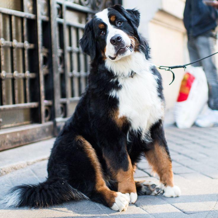 thedogist: Joyko, Bernese Mountain Dog (10 m/o), Rue de l'Alboni, Paris, France