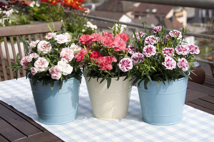 Topfnelken für Garten und Balkon #nelken #topfnelken #pink