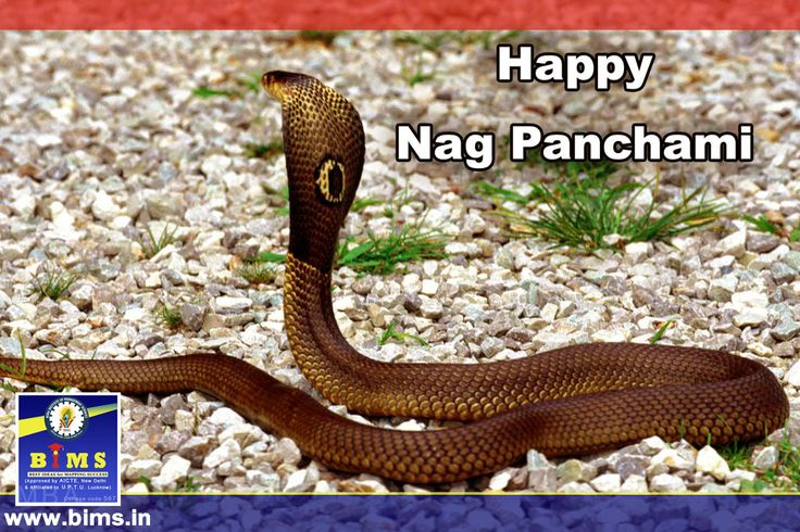 India celebrates #Nag #Panchami today. The festival is observed on the Shukla Paksha Panchami during Sawan month in the Hindu calendar. #Happy #Nag #Panchami http://bims.in/