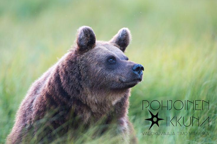 Mother bear @ Kuusamo #kuusamo #wildbear #bear