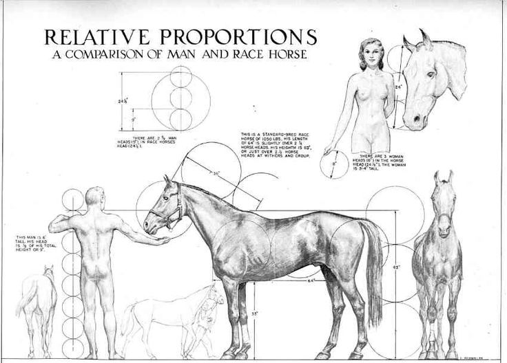 65 Best Animal Anatomy Images On Pinterest Animal Anatomy Draw