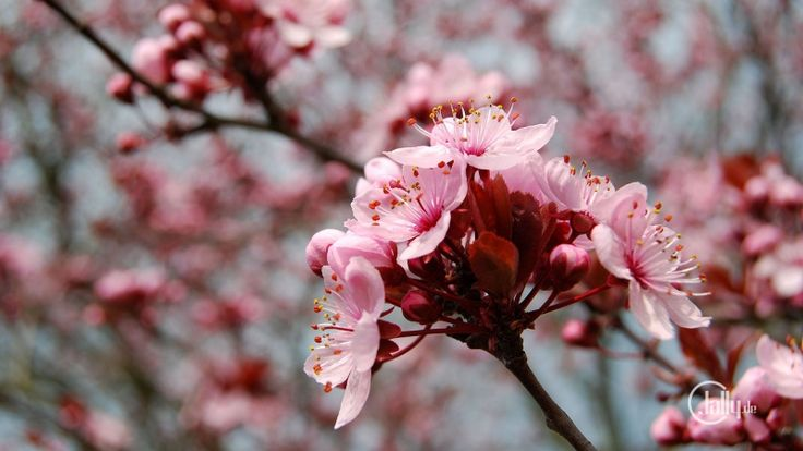 Wallpaper Frühling mit Baumblüten auf der Mainau