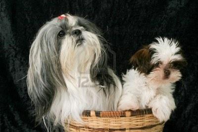 Cute Shih Tzu pup honden zitten in een mandje. Een volwassen vrouwelijke hond en de andere een 3 maanden oude pup. Stockfoto