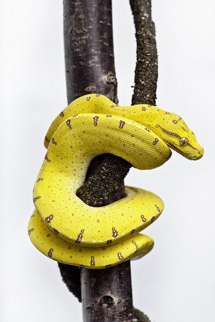 Australian Green Tree Python