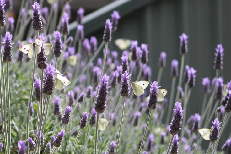 My lavender bush all of a flutter
