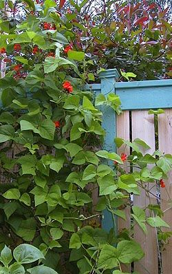 Scarlet Runner Bean. Not only edible, but makes a colorful screen and brings in the hummingbirds.
