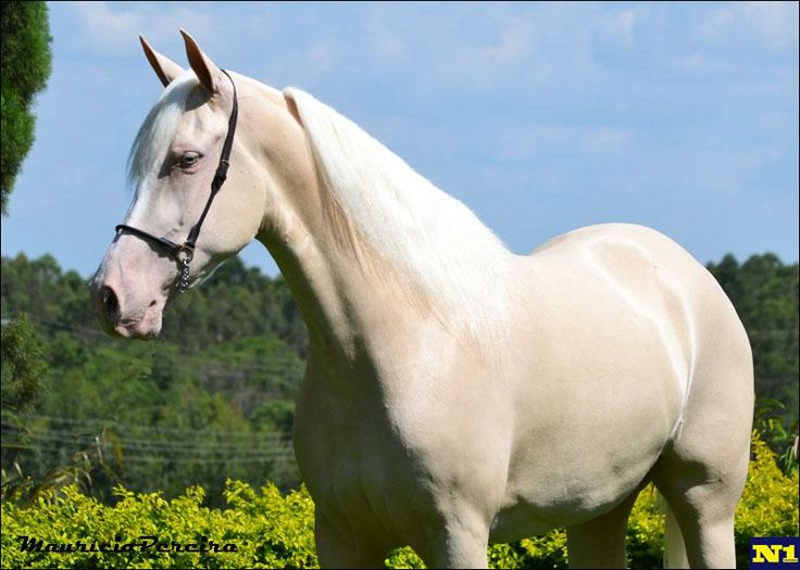 Cremello Mangalarga horse - The Mangalarga horse was developed in Brazil in the 1800s by crossing the Thoroughbred, Arabian, American Saddlebred, and Lusitano