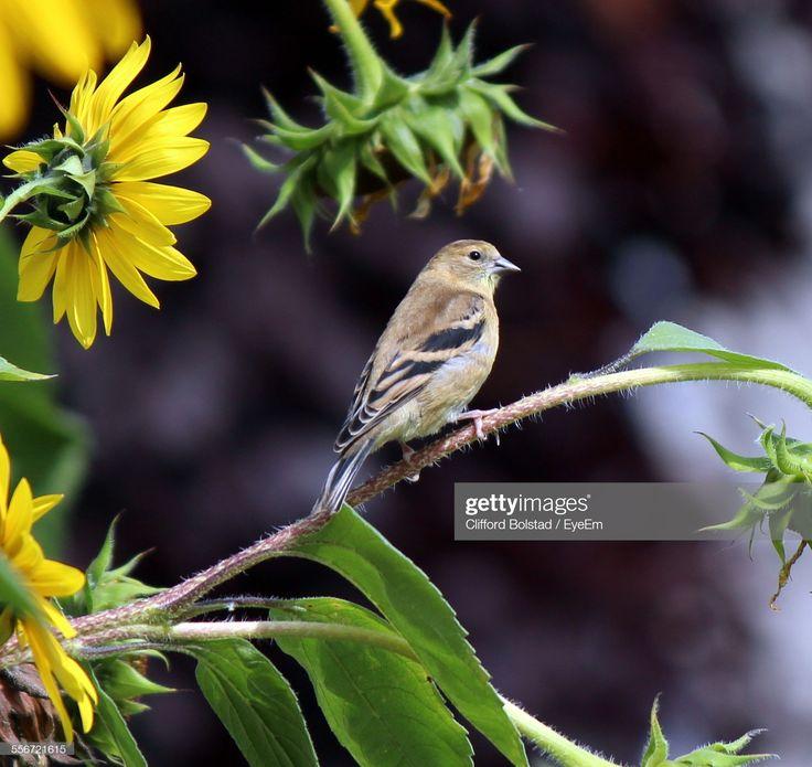 CloseUp Of Bird On Branch Near Sunflowers Bird on