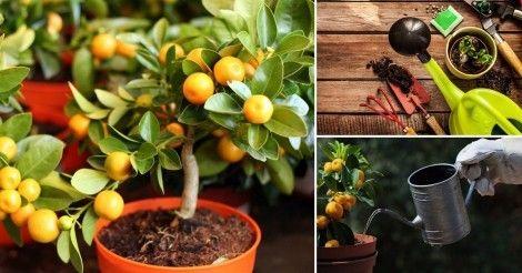 Claves para cultivar árboles frutales en macetas
