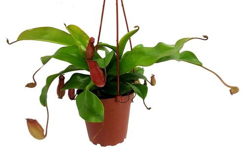 "Asian Pitcher Plant - Nepenthes - Carnivorous - Exotic -4"""" Hanging Pot"