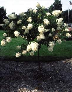 PeeGee Hydrangea Tree... I love this for the front yard!