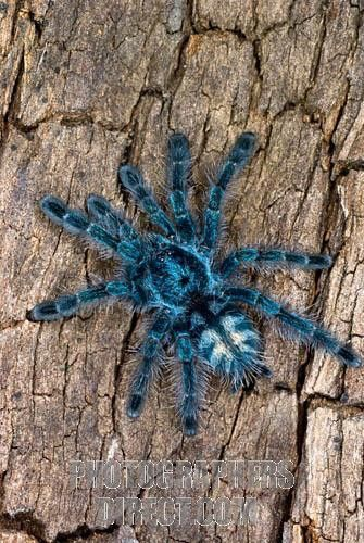 Colorful Tarantulas | Versicolor Tarantula. This is what ours looks like, but mine is still a juvenile and smaller in size