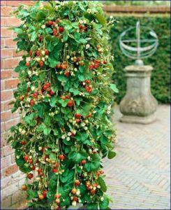Non tutti hanno la fortuna di possedere un giardino, ma talvolta è sufficiente anche un bel terrazzo od un balcone per poter seminare e raccogliere fiori e frutti. Tra essi troviamo le fragole