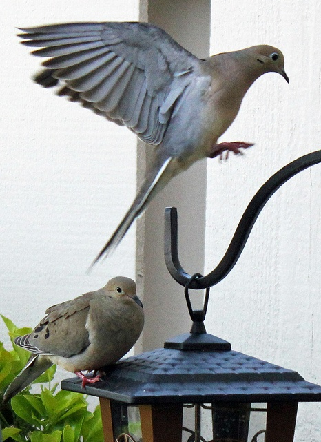 283 best images about mourning dove on pinterest for Mourning dove tattoo