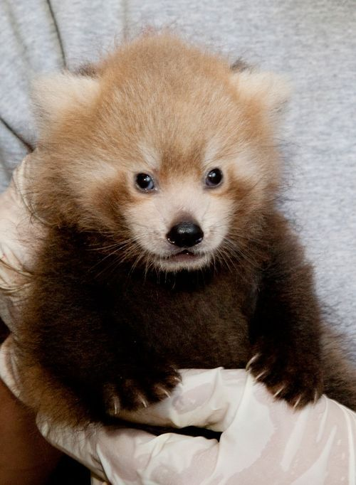 Baby red panda. These guys are really cute. Our zoo had a couple on loan some 25 years ago or so and I got to see them in person.