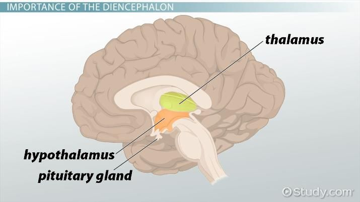 Diencephalon = thalamus, hypothalamus, and pineal gland ...